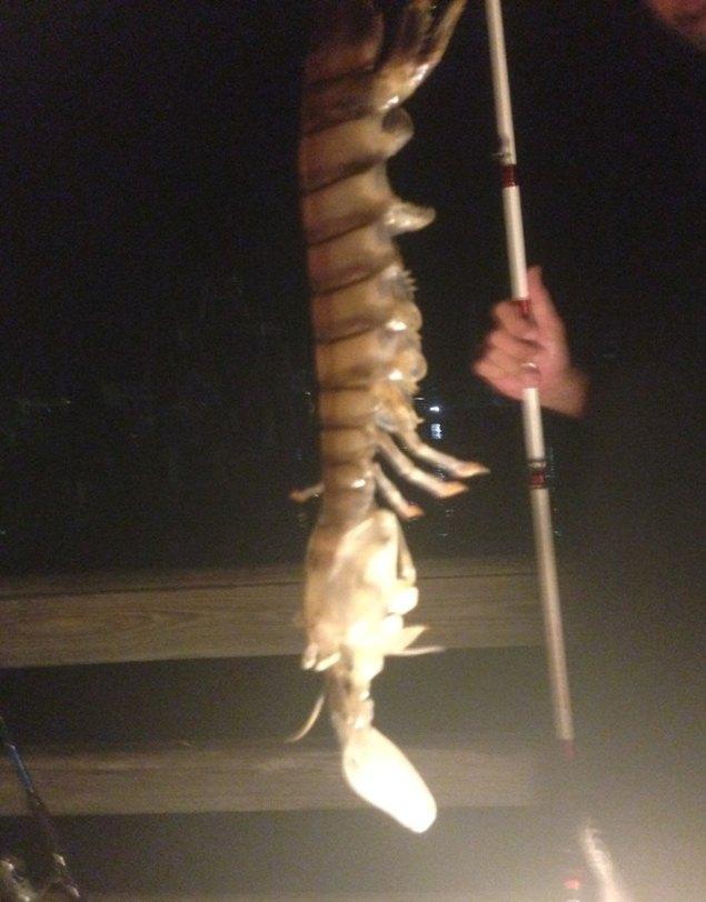 Житель Флориды поймал на удочку полуметровую креветку